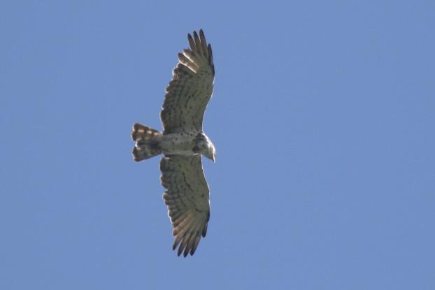 Short-toed Snake-eagle  - Martin Wettstein