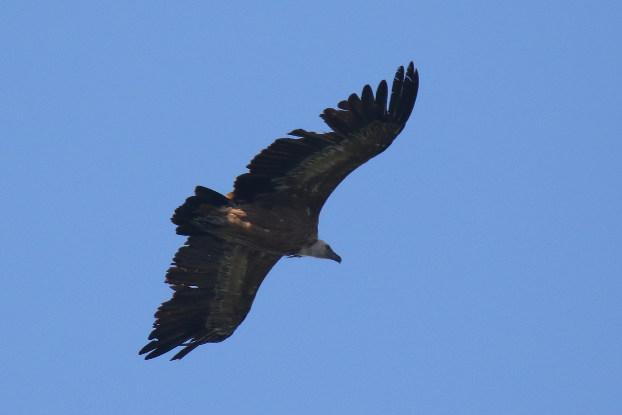 Griffon Vulture  - Martin Wettstein