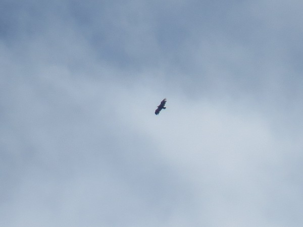 Griffon Vulture  - Yvan Schmidt