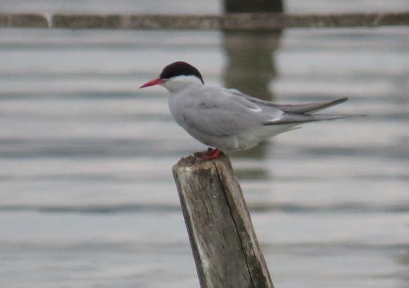Arctic Tern  - Christophe Jaberg