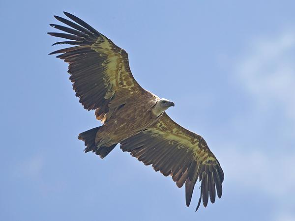 Griffon Vulture  - Bernhard & Edith Herzog
