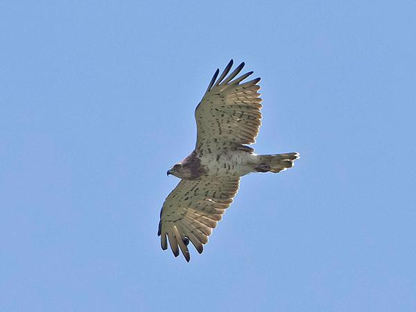 Short-toed Snake-eagle  - Bernhard & Edith Herzog