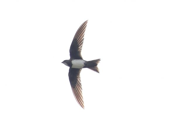 Alpine Swift  - Stefan Linder