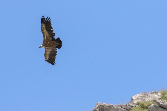 Griffon Vulture  - Michael Schaad