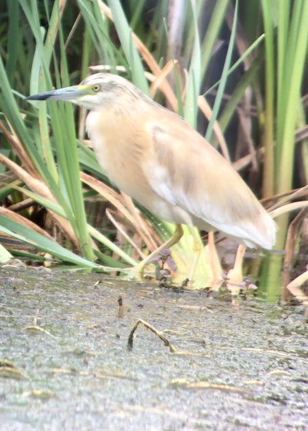 Squacco Heron  - Hanspeter Aeschlimann