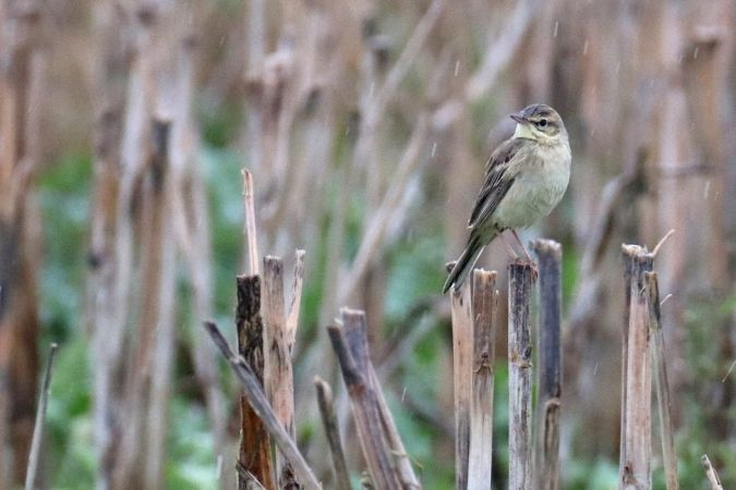Tawny Pipit  - Dominic Eichhorn