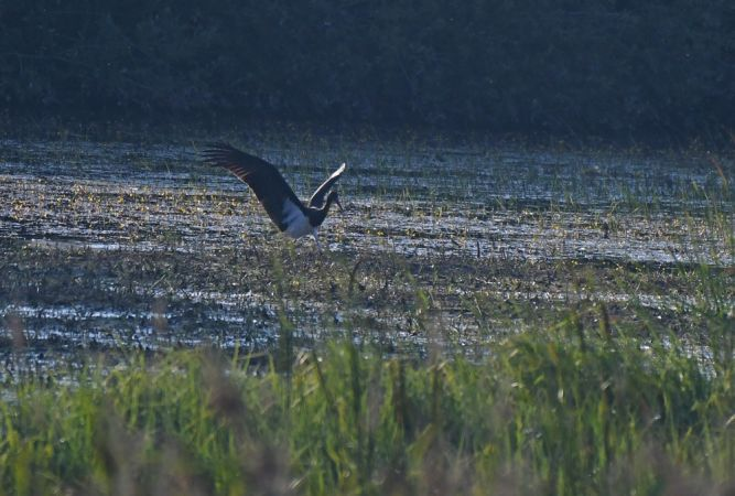 Black Stork  - Patrick Reymond