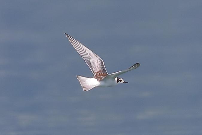 White-winged Tern  - Tobias Jonas