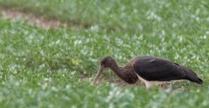 Black Stork  - Ernst Spychiger