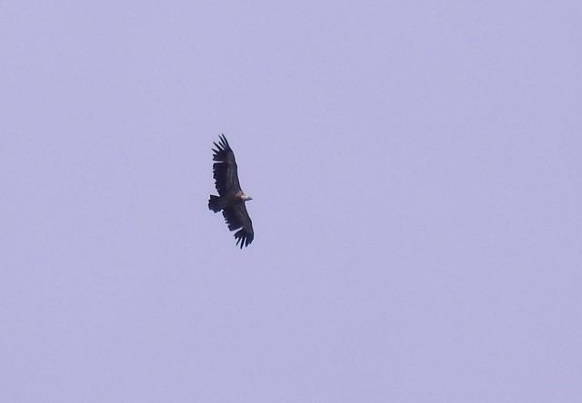 Griffon Vulture  - Jean-Claude Muriset