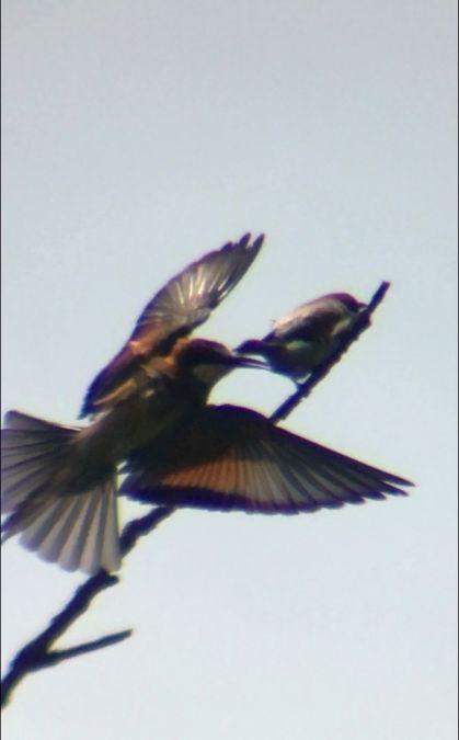 European Bee-eater  - Thomas Watts