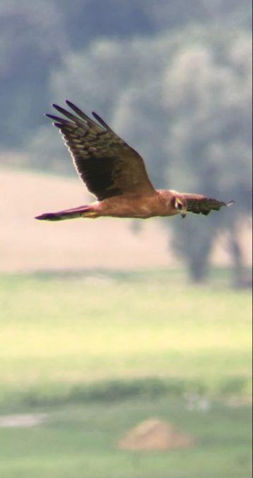 Montagu's Harrier  - Thomas Watts
