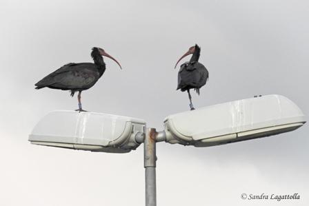 Northern Bald Ibis  - Sandra Lagattolla