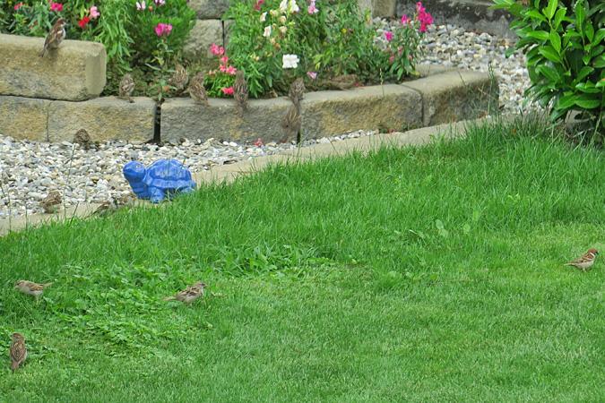 House Sparrow  - Heini Hefti