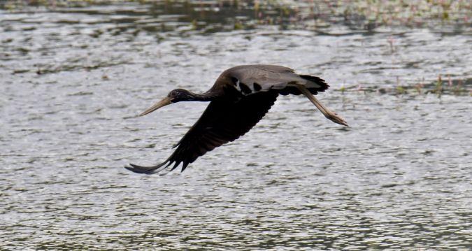 Black Stork  - Annick Renaud