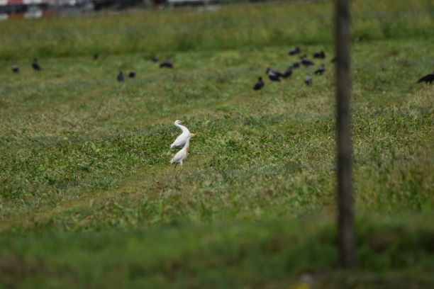 Cattle Egret  - Cinzia Franzoia