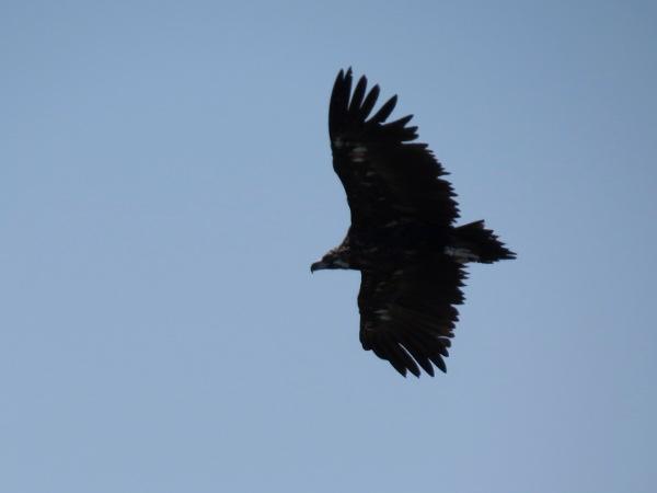 Cinereous Vulture  - Yvan Schmidt