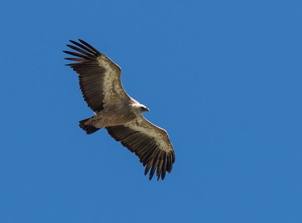 Griffon Vulture  - Stefan Werner