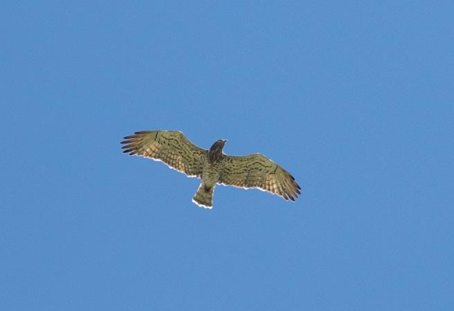 Short-toed Snake-eagle  - Stefan Werner