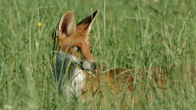 Red Fox  - Werner Eberhard