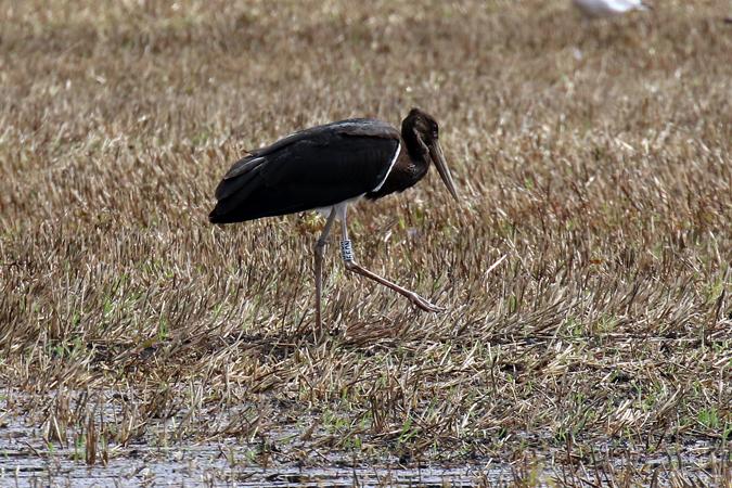 Black Stork  - Markus Gerber