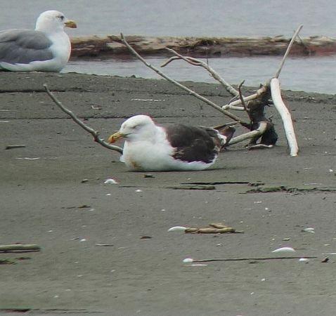 Great Black-backed Gull  - Sepp Trittenbass