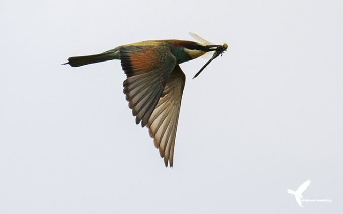 European Bee-eater  - Stephane Henneberg