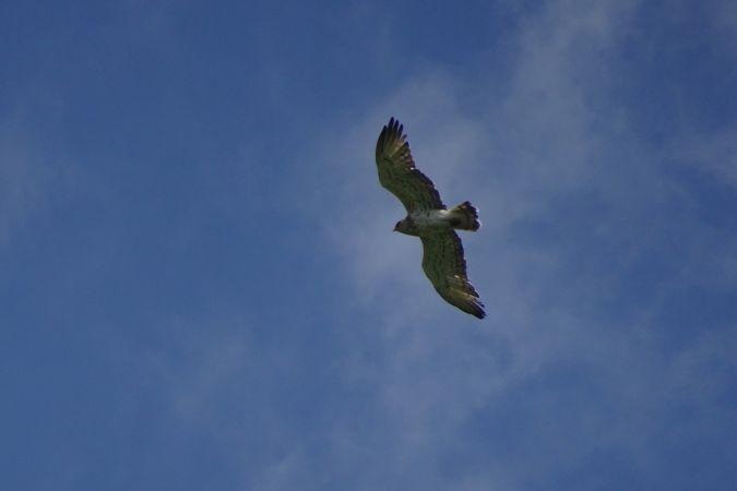Short-toed Snake-eagle  - Gilles Hauser