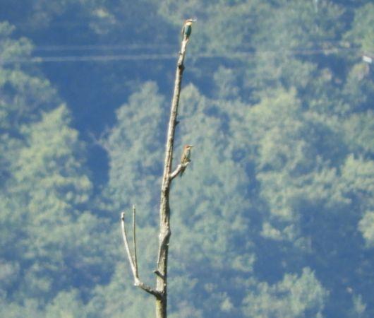 European Bee-eater  - Morena Stornetta