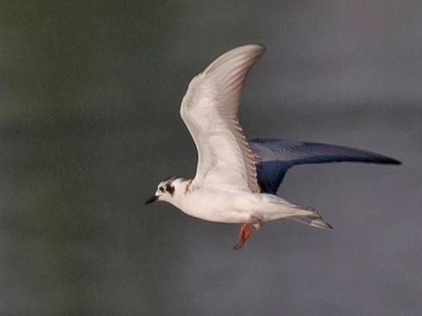 White-winged Tern  - Bernhard & Edith Herzog