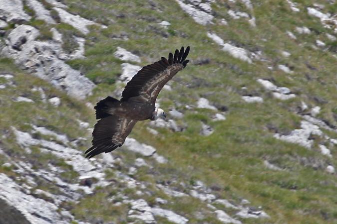 Griffon Vulture  - Nicole Petitpierre