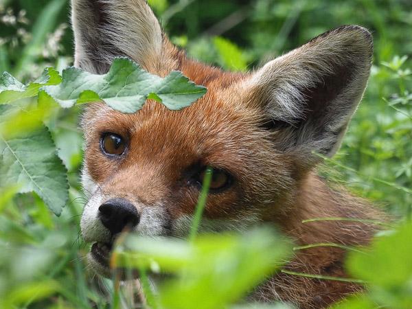 Red Fox  - Silvio Bartholdi