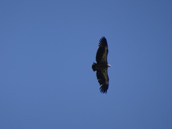 Griffon Vulture  - Daniel Querio