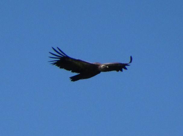 Griffon Vulture  - Daniel Zeller