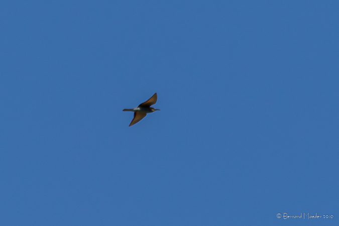 European Bee-eater  - Bernard Maeder