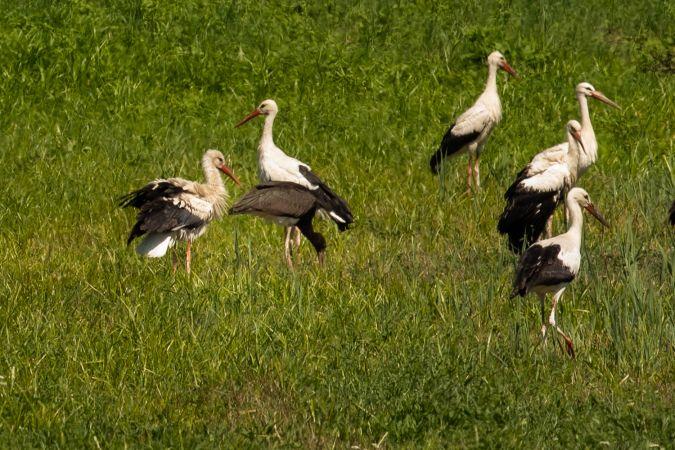 Black Stork  - Robert Hangartner
