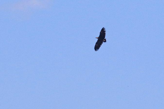 Cinereous Vulture  - Claudia Hischenhuber