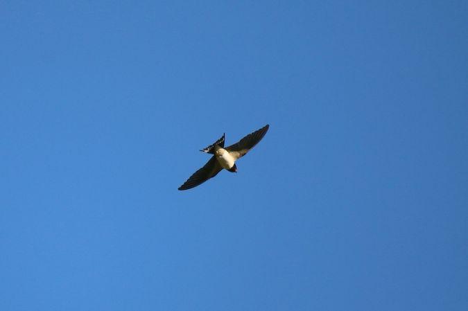 Barn Swallow  - Jean-Marie Wicki