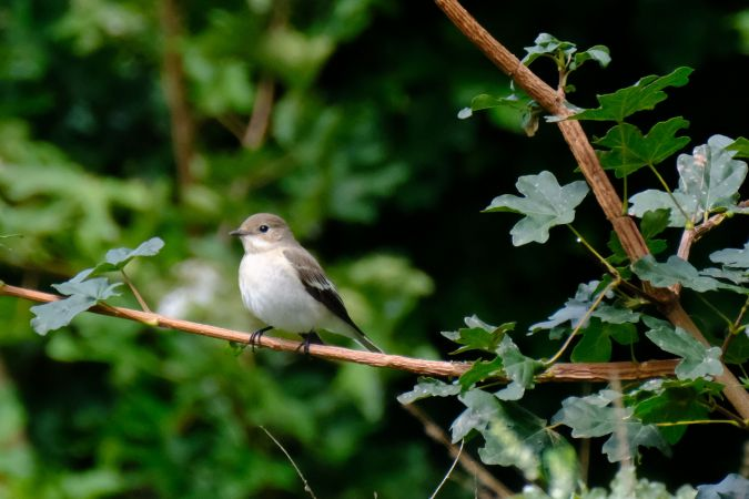 European Pied Flycatcher  - Jean-Marc Pfefferlé