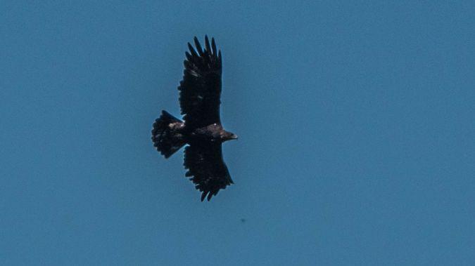 Golden Eagle  - Othmar Wüst