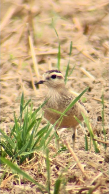 Eurasian Dotterel  - Thomas Watts