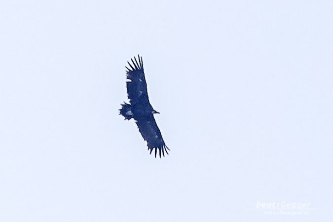 Cinereous Vulture  - Beat Rüegger