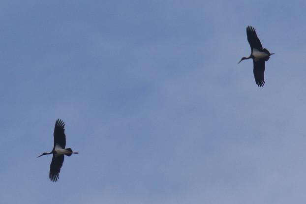 Black Stork  - Martin Wettstein