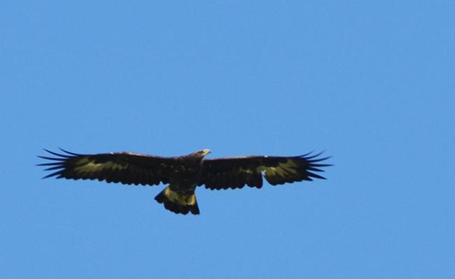 Golden Eagle  - Hannes Schumacher