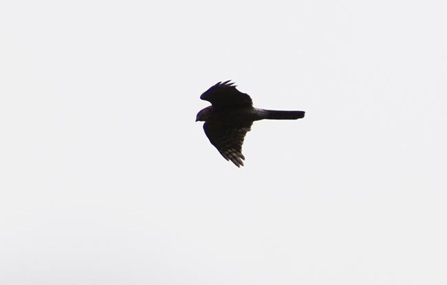 Eurasian Sparrowhawk  - Hannes Schumacher