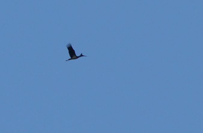 Black Stork  - Hannes Schumacher