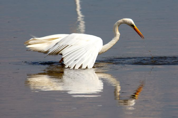 Great White Egret  - Fritz Sigg