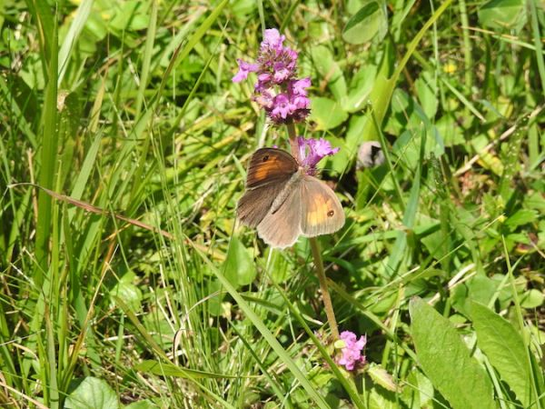 Meadow Brown  - Martin Wittwer
