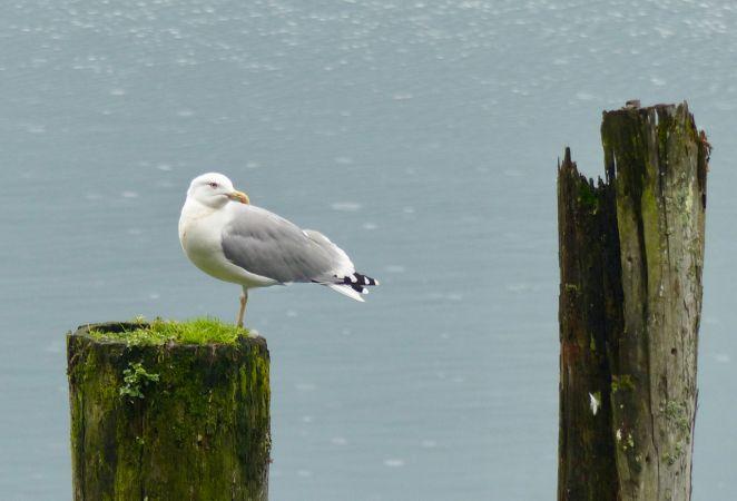 unidentified Gull  - Hervé Prisset