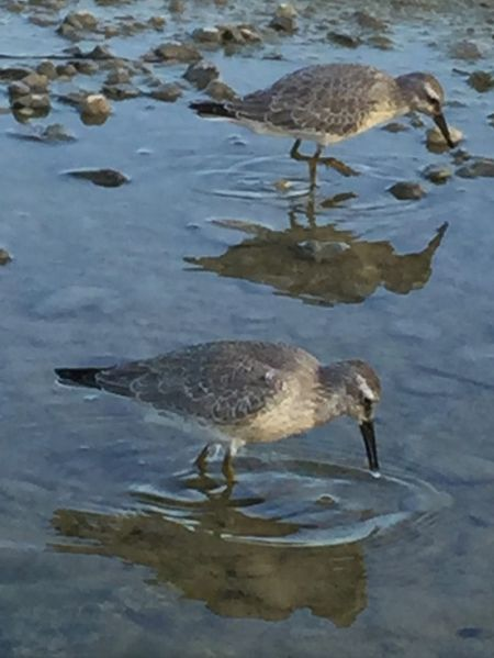 Red Knot  - Marcel Tschofen